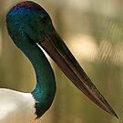Black Necked Stork by Sea-Change