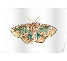 Geometrid moth Poster