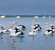 Pelicans on the Bay - Redland Bay Qld Australia by Beth  Wode