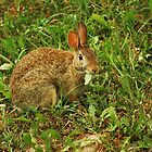 Cottontail by deb cole
