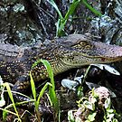 Young Alligator Stalking His Lunch by Kathy Baccari