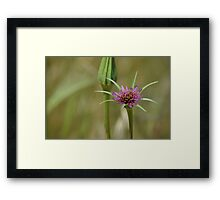 Dandelion in bloom Framed Print