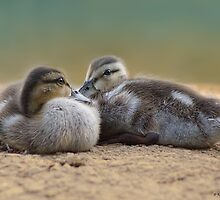 Mallard Duckling Duo by KatMagic Photography