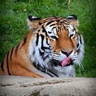 Tiger Ponders His Next Snack by mercale