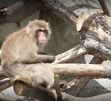 Snow Monkey by mercale