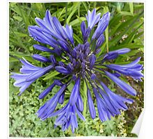 Agapanthus - African Lily Poster