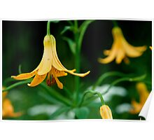 yellow bell flowers Poster