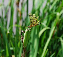 Dragonfly on Iris Pods by RoyceRocks