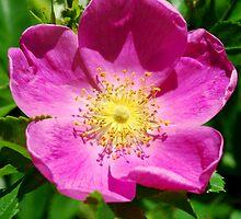 Wild Rose by RoyceRocks