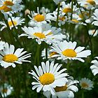 white petal daisies by Junec