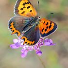 Small copper by jimmy hoffman