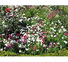 A bed of beautiful different color flowers (white, pink, purple, red, and others) Photographic Print