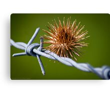 Burr on the wire Canvas Print