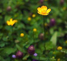 Buttercup flower by Vicki Field