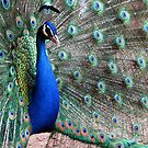 Proud Peacock by Caroline Anderson