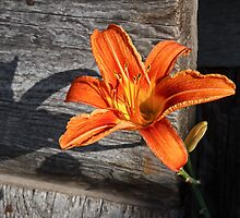 Orange Lily and Weathered Wood by Kenneth Keifer