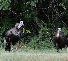 Turkeys - (Meleagris gallopavo) by Matsumoto