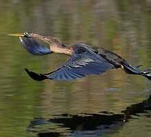 Anhinga Takeoff by William C. Gladish