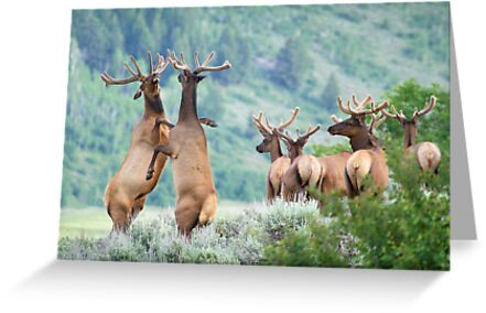 Elk Bulls Sparring by A.M. Ruttle
