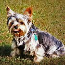 Just a Cute Yorkie by Ticker