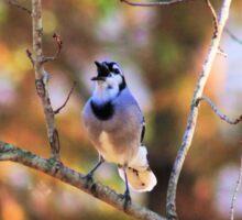 Blue Jay squawking Sticker