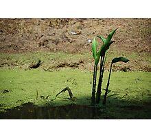 Swamp plant  Photographic Print