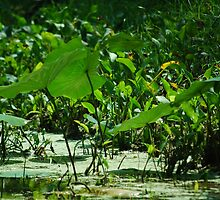 lily pads  by totorohappy1984