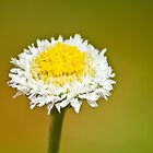 Poached-egg Daisy by Dean Cunningham