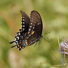 Eastern Tiger Swallowtail by Alinka