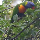 This fruit's not ripe. Rainbow Lorikeet - Trichoglossus haematodus by Lydia Heap