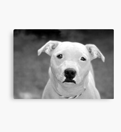 Just because I'm a Staffie Canvas Print