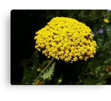 Yellow Yarrow Macro Canvas Print