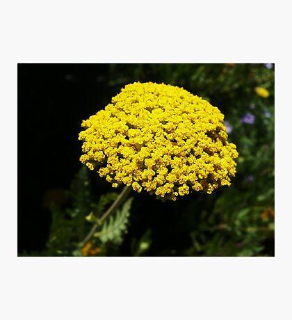 Yellow Yarrow Macro Photographic Print