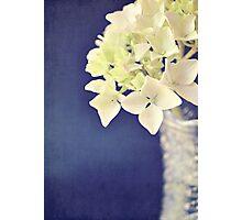 Hydrangea just beginning to turn pink Photographic Print