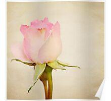 Single Baby Pink Rose Poster