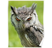 Northern White-faced Owl Poster