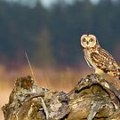 Short-eared Owl in Evening Light by Tom Talbott