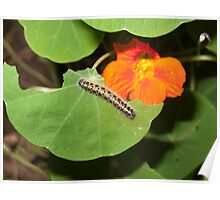 A caterpillar, in focus, eating the leaves of a plant with a beautiful orange flower Poster