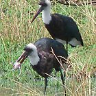 Woolly necked stork with lunch by Linda Sparks