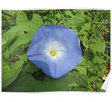 Morning Glory - Morning Beauty Poster