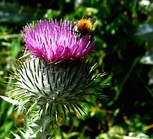 Humble bee on thistle by Peter Wiggerman
