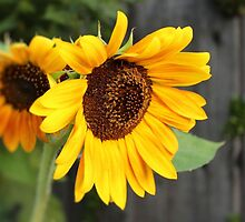 Sunflower Duet by aprilann