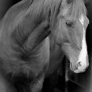 Young stallion, Black and White by Al Williscroft