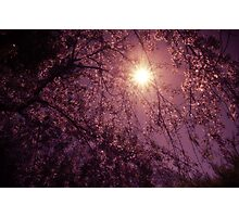 New Day - Sun Through Cherry Blossoms Photographic Print