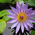 Wet Water Lily by KimSha