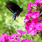Female Spicebush Swallowtail #1 by Paula Tohline  Calhoun