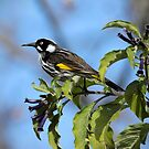 New Holland Honeyeater by LeeoPhotography