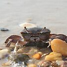 Crab - Saxis, VA by searchlight