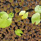 Lily Pads by KimSha
