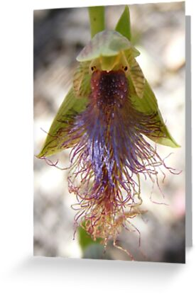 Bearded Man. Slender Beard Orchid - Calochilus gracillimus by Lydia Heap